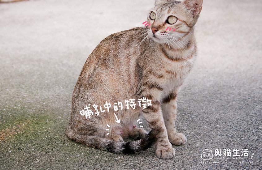 哺乳中的貓媽媽乳頭特徵