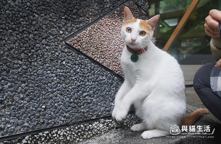 店貓-綠茶